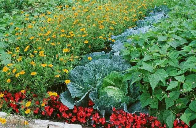 Les associations fleurs - légumes - plantes aromatiques à la fois gain de place et utiles pour le potager... avec Rustica.