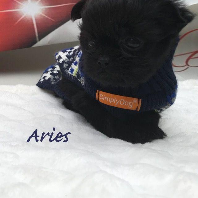 Litter of 3 Shih Tzu-Shorkie Tzu Mix puppies for sale in CUSSETA, GA. ADN-65522 on PuppyFinder.com Gender: Male. Age: 7 Weeks Old