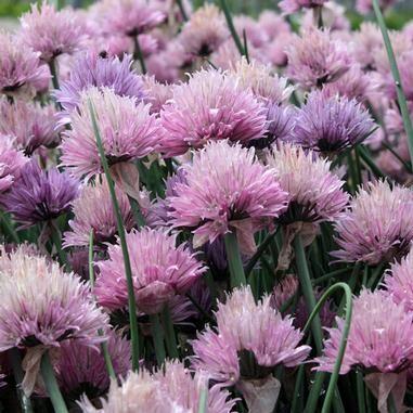 Allium schoenoprasum 'Forescate' (Forescate Chives)