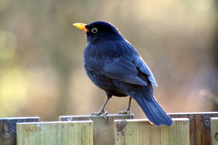 """Rufus Blackbird lands on the back fence in Toby Fletcher's garden. He has bad news. #TobyFletcher."""