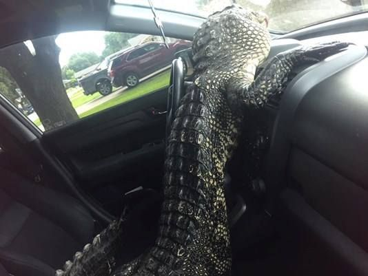 How does one explain this to their insurance company? Texas gator climbs out of car trunk, cracks windshield.