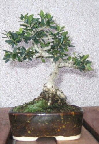 457 besten bot nica bilder auf pinterest bonsai for Bonsai hydrokultur