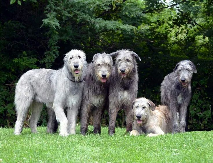 A 4 generation Irish wolfhound family.  Gryff's mama, great grandma,grandma and brother and Gryff. Ages 10 to 6 months.