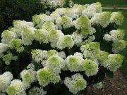 Hydrangea paniculata 'Jane' (Little Lime) - Skarainā hortenzija