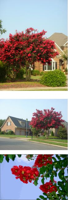 Dynamite Crape Myrtle (Lagerstroemia Indica 'Whit II'). Red blossoms, orange red fall color, grows 15' - 25', multi branched small shrub or small tree