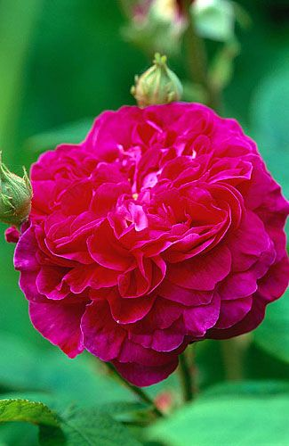 27898 | Woodchippings, northants: Rosa gallica bossnet | By: Clive Nichols | Flickr - Photo Sharing!