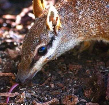 Numbats have long tongues to eat ants and termites with ...