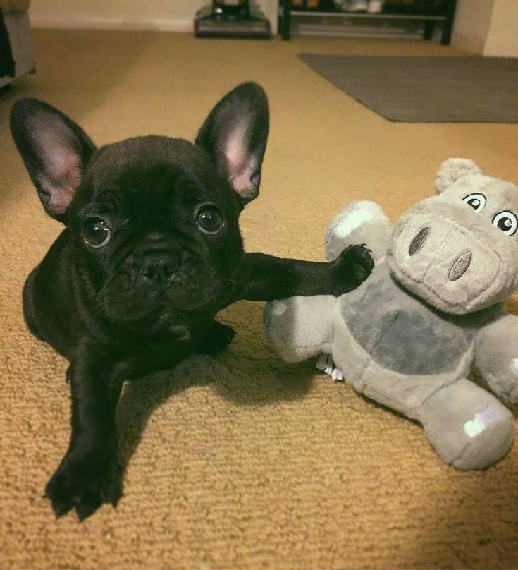 Pin By Jennifer Knox On Frenchies French Bulldog Puppies Cute