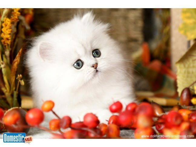 About The Persian Cat Persian Kittens Cute Cats And Dogs Cute Cats