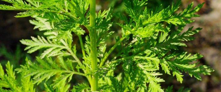 Artemisia annua cura il cancro testimonianza