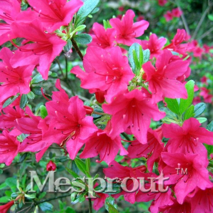 100 Pcs/bag Rare Bonsai  Yellow Azalea Seeds Looks Like Sakura Japanese Cherry Blooms Sims Azalea Flower Seeds #>=#>=#>=#>=#> Click on the pin to check out discount price, color, size, shipping, etc. Save and like it!
