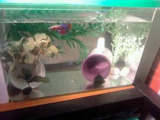 36 best images about betta fishies on pinterest for Best place to buy betta fish online