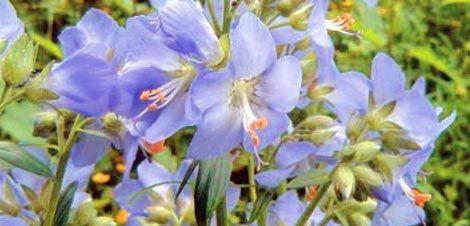 Jirnice modrá - Léčivé rostliny