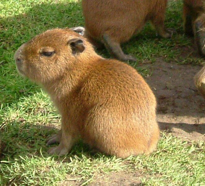 11 Best Capybara Images On Pinterest Guinea Pigs
