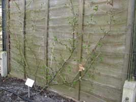 Growing Fruit in Shade - Fan-trained gooseberry bush against north-facing fence | Grow Veg