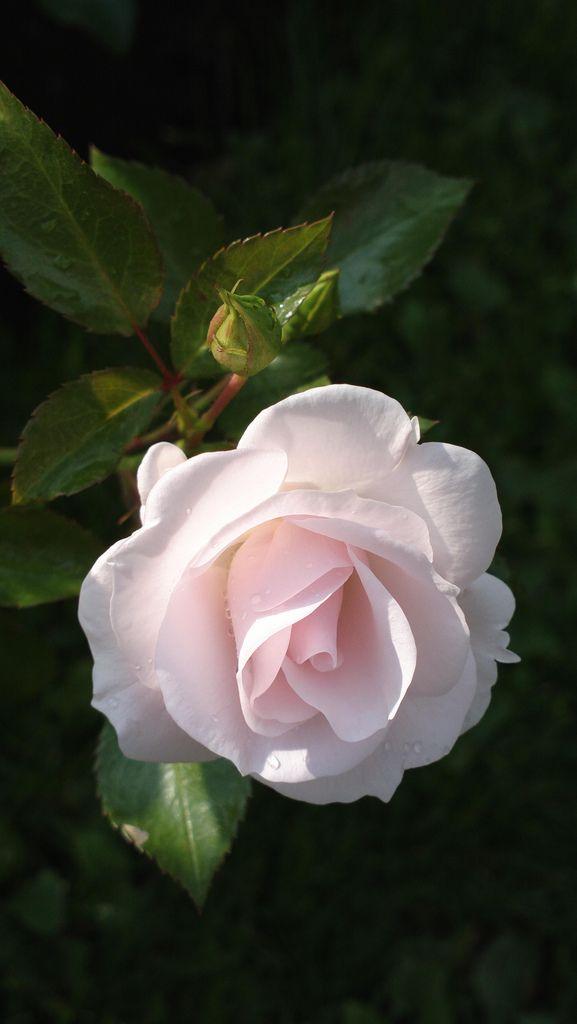 Floribunda Patio Rose: Rosa 'Aspirin Rose' (Germany, 1989) ~ Photo by KamalaKala on Flickr