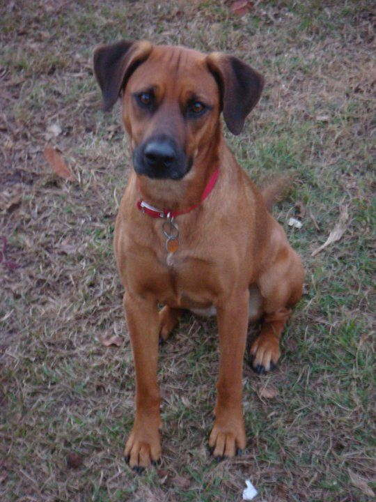 Black Mouth Cur Dog Size