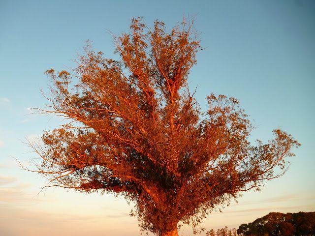 Fotografias Tu Confidente: ÁRBOL DE EUCALIPTO (Eucaliptus globulus)
