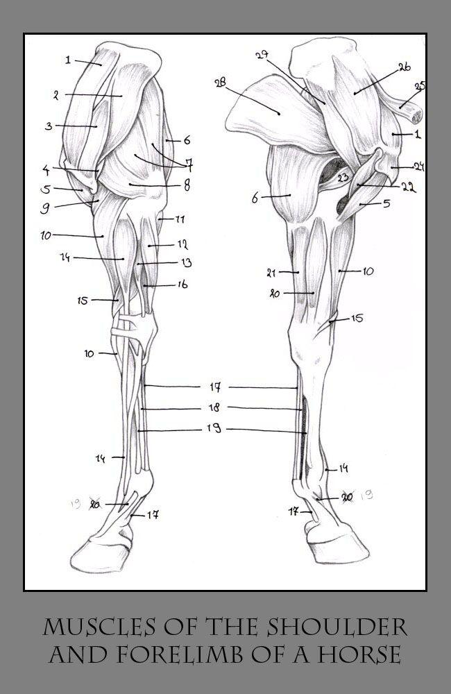 Best 155 Equine Anatomy images on Pinterest | Anatomy, Horses and Horse