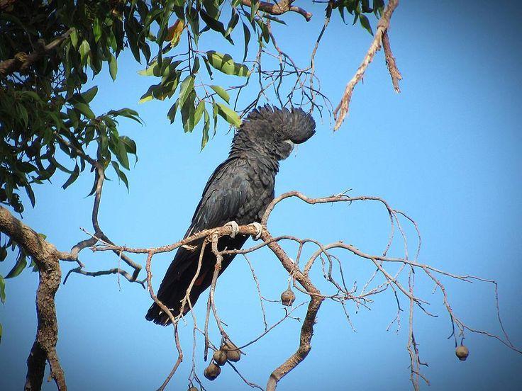 Black Cockatoo Australian Wildlife