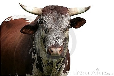 Nguni cattle bull by Duncan Noakes, via Dreamstime