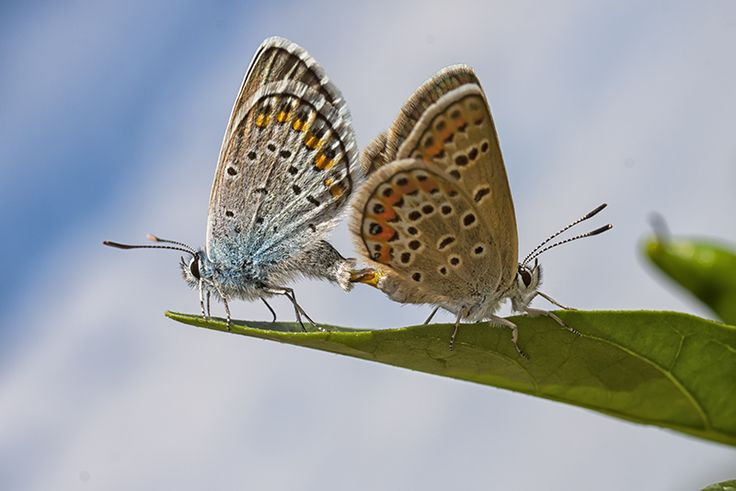 Mating Common Blue Butterfly couple