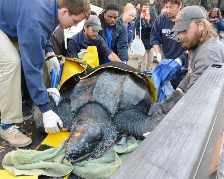 """Die Lederschildkröte """"Yawkey"""" war am 7. März an einem Strand im US-Staat South Carolina an Land gespült worden. Das 215 Kilogramm schwere Tier hatte keine äußeren Verletzungen, war aber unterzuckert."""