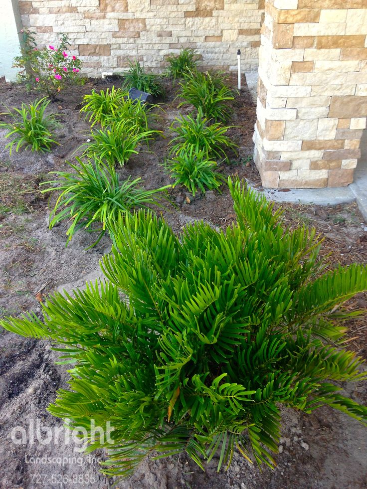 Today we are in Clearwater, FL updating this front entry landscaping with low maintenance  plantings featuring Coontie Palms.