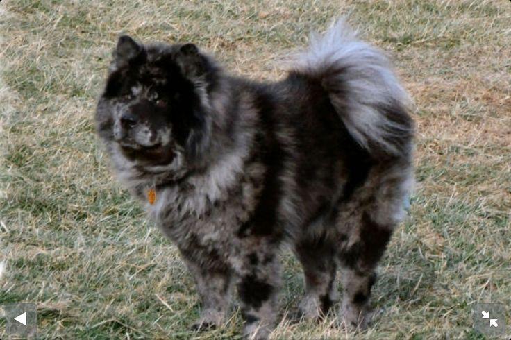 Merle Chow Fluffy Dogs Rare Dog Breeds Dog Breeds