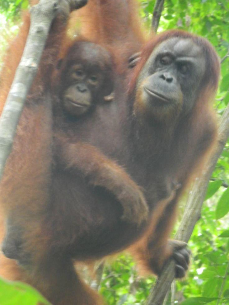 Baby Orangutan and her Mom, Gunung Leuser National Park