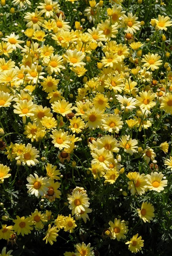 Argyranthemum Yellow Butterfly - May 2013