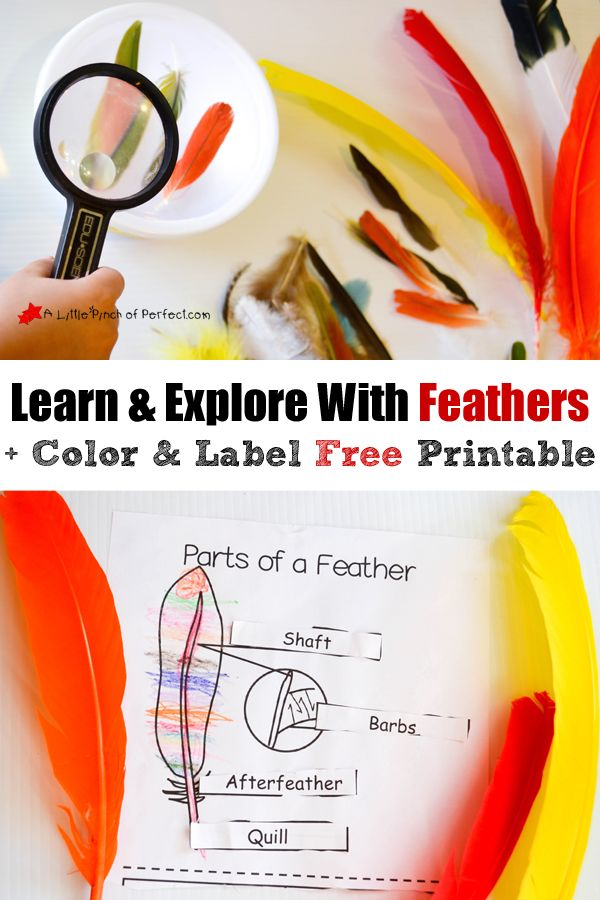 Learning About Bird Feathers: Explore, Color, and Label Free Printable (science activity for kids)