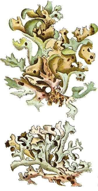 botanische zeichnungen bartflechte - Google Search