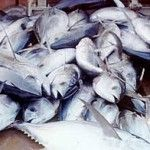 A new study commissioned by WWF uncovers that between 2000 and 2010, the equivalent of 18,704 tons of live Bluefin tuna were traded via Panama without being reported to the International Commission for the Conservation of Atlantic Tunas (ICCAT) – the international body managing the fishery. - See more at: http://aquaculturedirectory.co.uk/wwf-uncovers-massive-unreported-trade-of-atlantic-bluefin-tuna-through-panama/#sthash.glea8lbS.dpuf