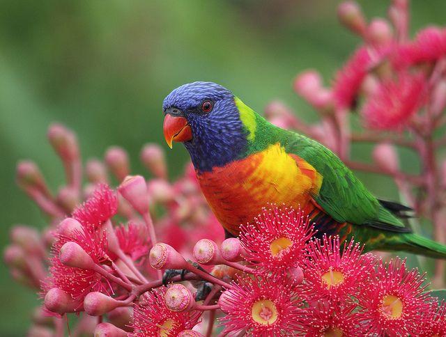Australian Birds - rainbow lorikeet