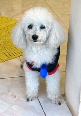 "Poodle puppy,my ""OZZY OSBOURNE""...LOVE YOU<pal!!!!"