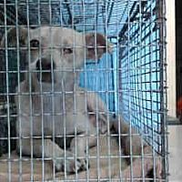 URGENT ON 1/30 URGENT ON 1/30 San Bernardino, a for adoption. https://www.adoptapet.com/pet/20637509-san-bernardino-california-chihuahua