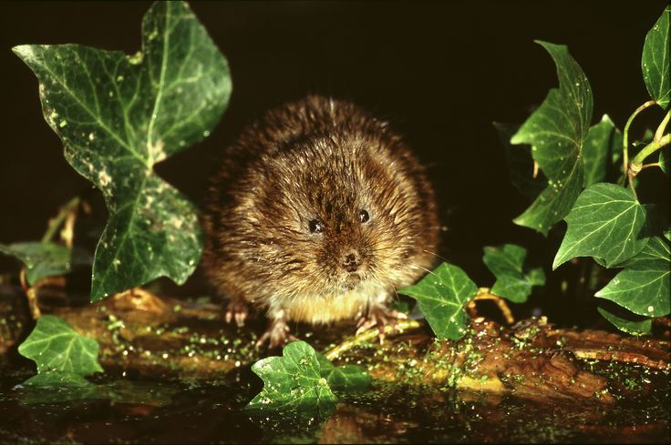 water_vole33.jpg (JPEG Image, 3200 × 2128 pixels) - Scaled (29%)