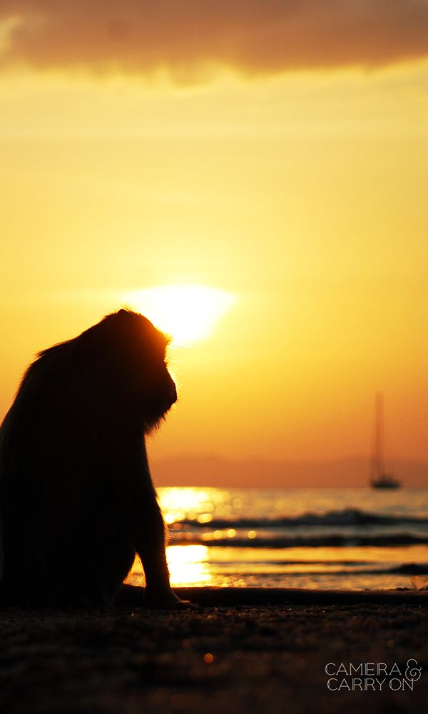 Photograph of a pensive monkey on Ao Nang Beach in Krabi, Thailand with a sunset and sailboat in the background - available in our shop. #photography #scenic #travel #monkey #animal #wild #beach #sunset | CameraAndCarryOn.com