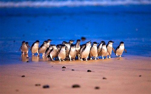 Penguin parade, Phillip Island (Australia)