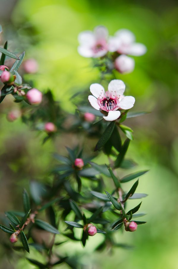 Manuka Bloom, New Zealand. Makes the best honey in the world. Manuka honey is liquid gold.