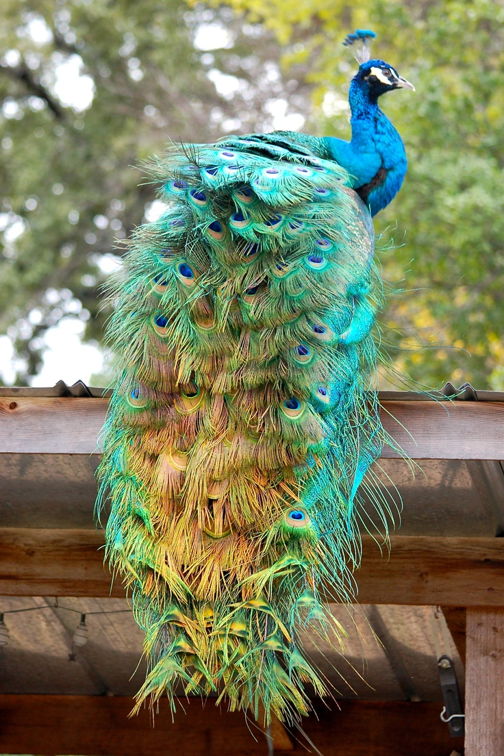 Peacock feather fabric shower curtain quot teal peacock feather quot green - Theo Resident Peacock At Chicken Paradise Bed And Breakfast Strutting His Stuff On The Garden
