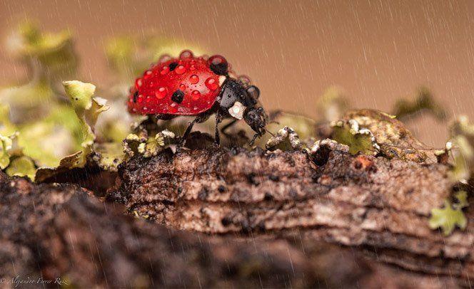 Se dias chuvosos são muitas vezes difíceis pra nós, humanos, quem dirá para um ser minúsculo como uma joaninha. O fotógrafoAlejandro Ferrer Ruiz decidiu analisar esses insetos encantadores de perto e fez uma série mágica com fotos macro de joaninhas em dias de chuva.
