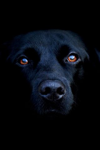 black lab..want this dog more than any dog out there...memories of Blue...