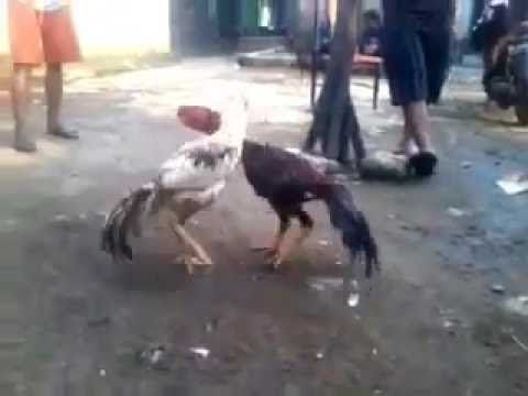 Rooster fights Super speed 18
