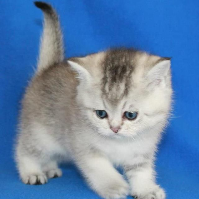 British shorthair Silver ticked kitten British
