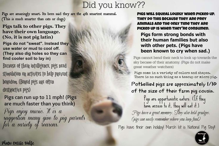 Fun pig facts | Educational Tools For Mini Pigs | Mini ...