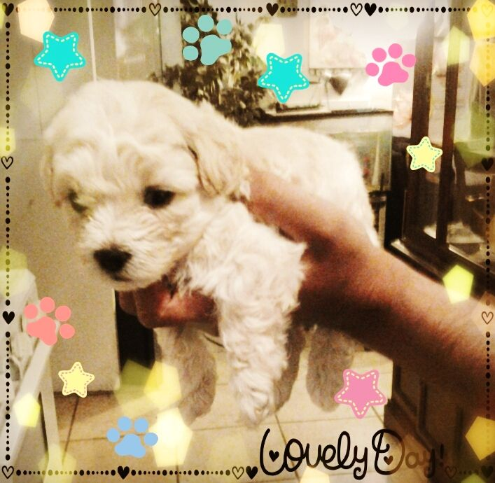 Maltese poodle puppy:)