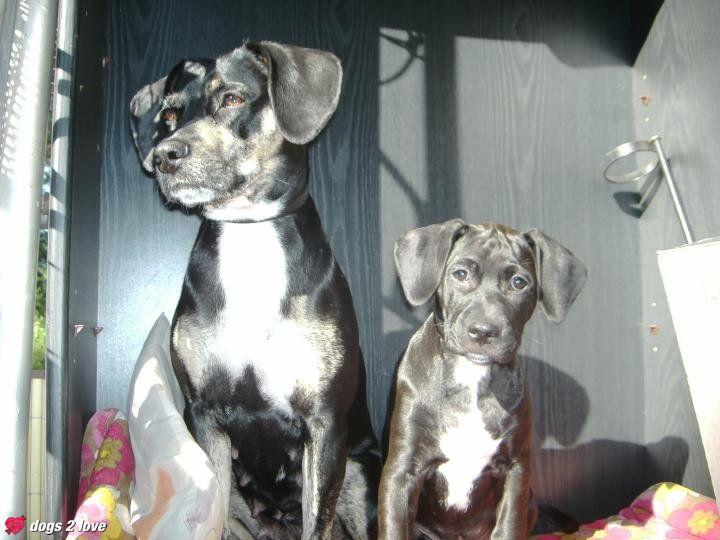 Helma / Staff-Labrador-Beagle Mischling