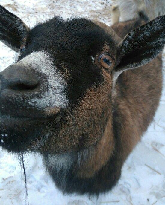 Kamerúnska koza v zime 🐐